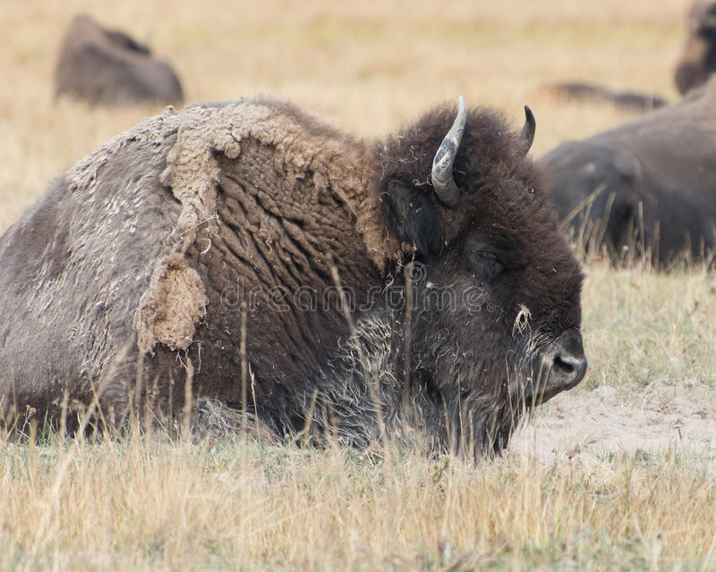 Bison in Yellowstone National Park royalty free stock images