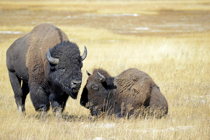 Bison at Yellowstone National Park, Wyoming stock photo