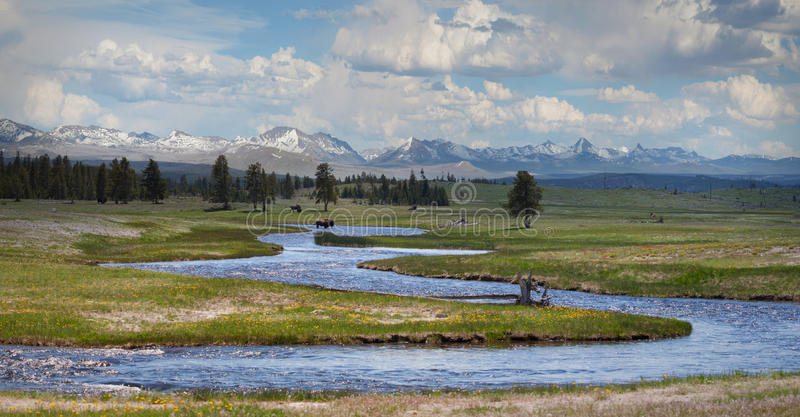 Bison at Yellowstone. Small river at Yellowstone National Park with bison royalty free stock image
