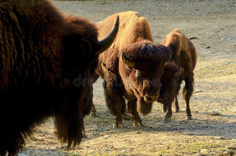 Bisonbisonen för amerikansk bison, också som gemensamt är bekanta som den amerikanska buffeln eller enkelt buffel arkivfoto