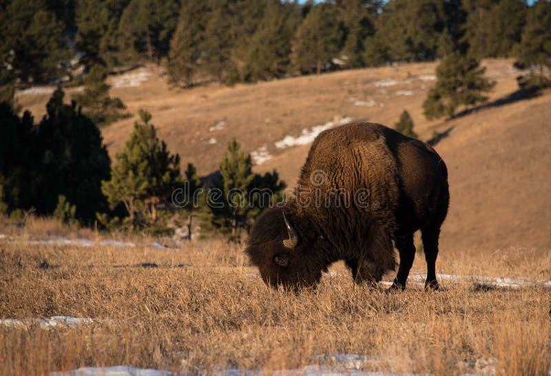 Bisonbuffel som betar på den snöig backen arkivfoton