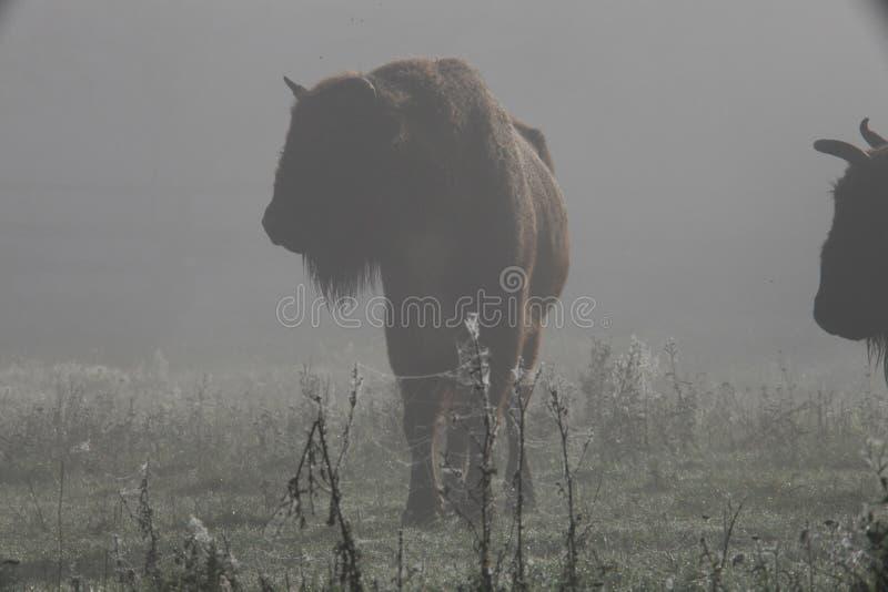 Bisone stockfoto