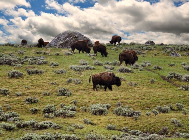 Bisone, die im Berg speisen lizenzfreie stockfotografie