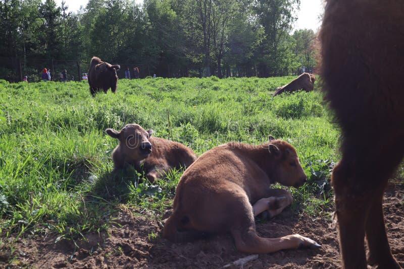 Bisonfamilj Den europeiska bisonen, St Petersburg, Toksovo, bison var b?rdig reserven royaltyfri fotografi