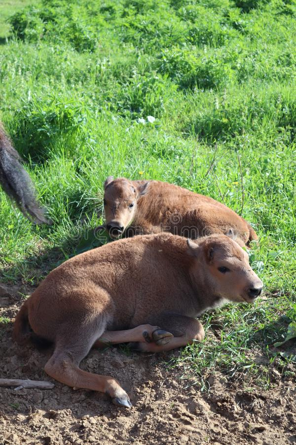 Bisonfamilj Den europeiska bisonen, St Petersburg, Toksovo, bison var b?rdig reserven fotografering för bildbyråer
