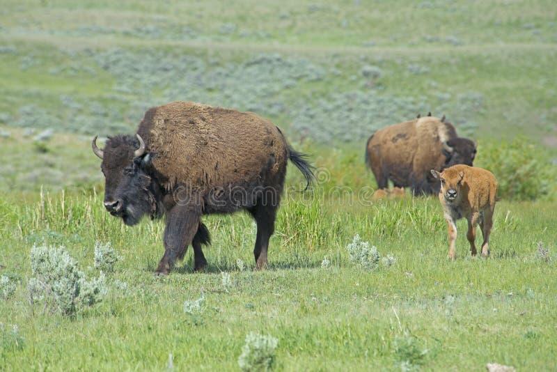 Bisonfamilj i den Yellowstone nationalparken royaltyfri bild