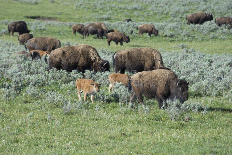 Bisonflocken med behandla som ett barn i den Yellowstone nationalparken arkivbild