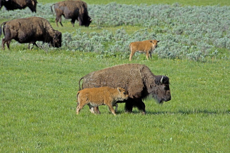 Bisonflocken med behandla som ett barn i den Yellowstone nationalparken royaltyfri foto