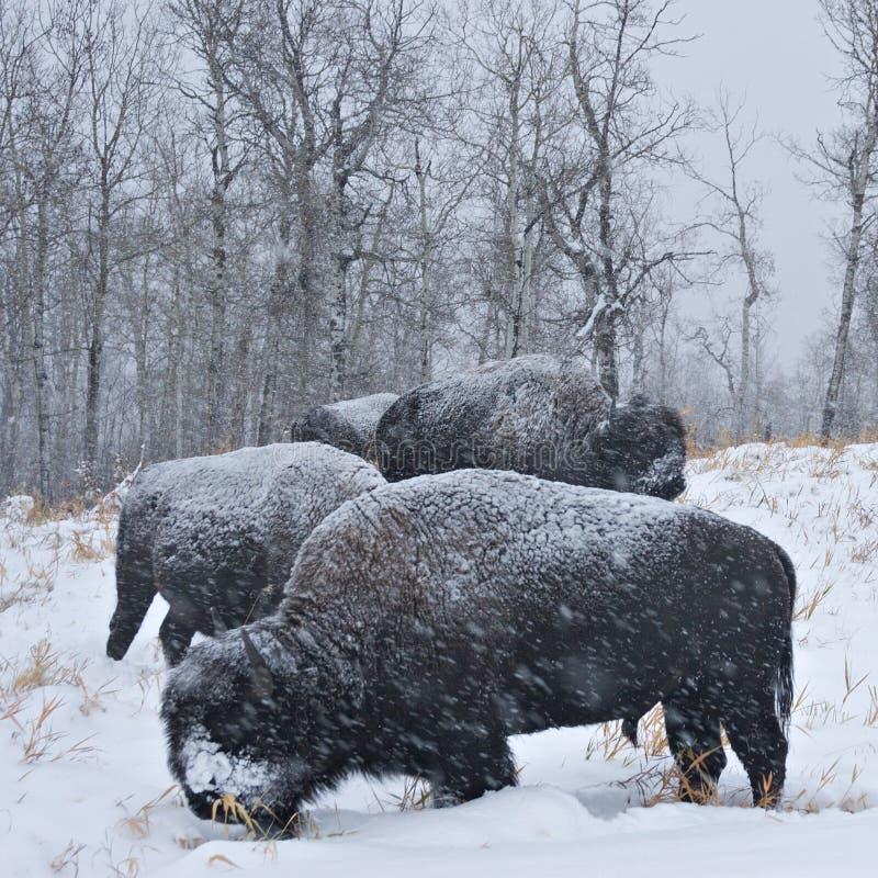 bisonhäftig snöstorm fotografering för bildbyråer