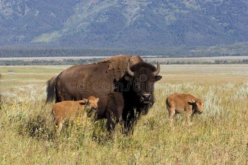 bisonkalvar royaltyfria bilder
