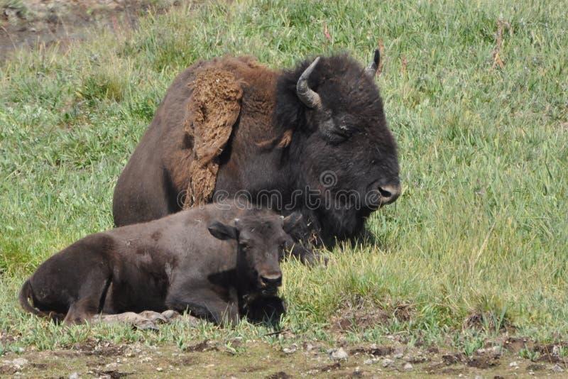 Bisonko och kalv arkivbild