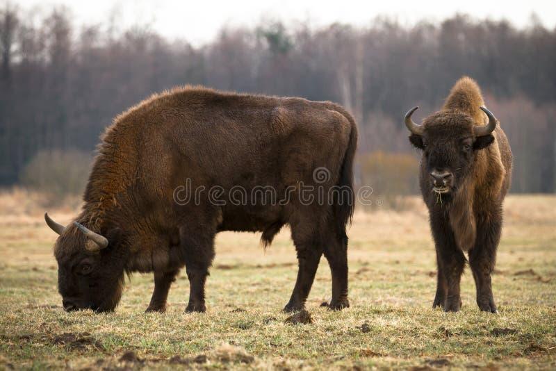 bisons royaltyfri bild