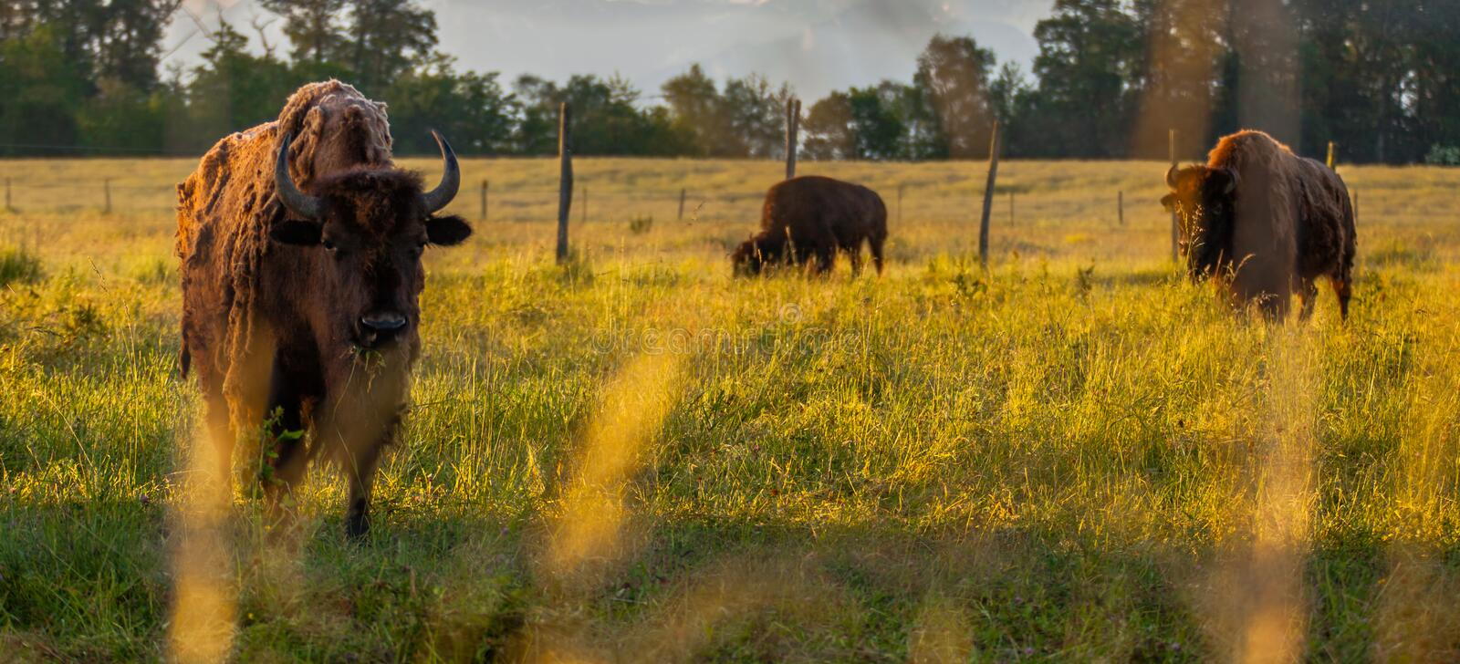 Download Bisons Royalty Free Stock Photos - Image: 25099428