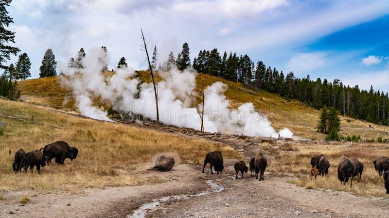 Bisons devant un geyser au Wyoming image stock
