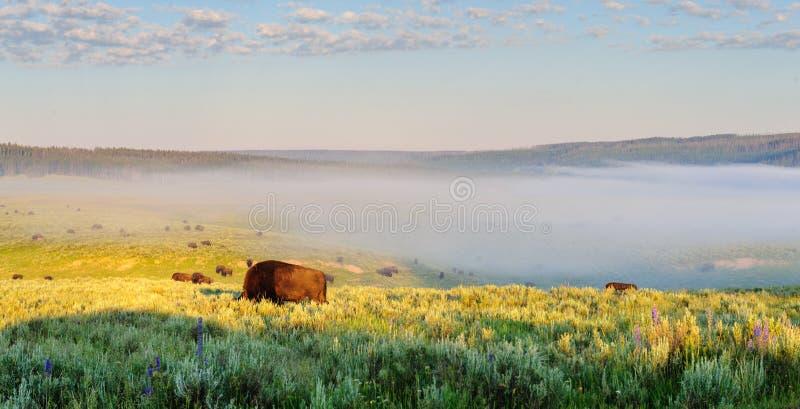 Bisons frôlant en Hayden Valley image stock