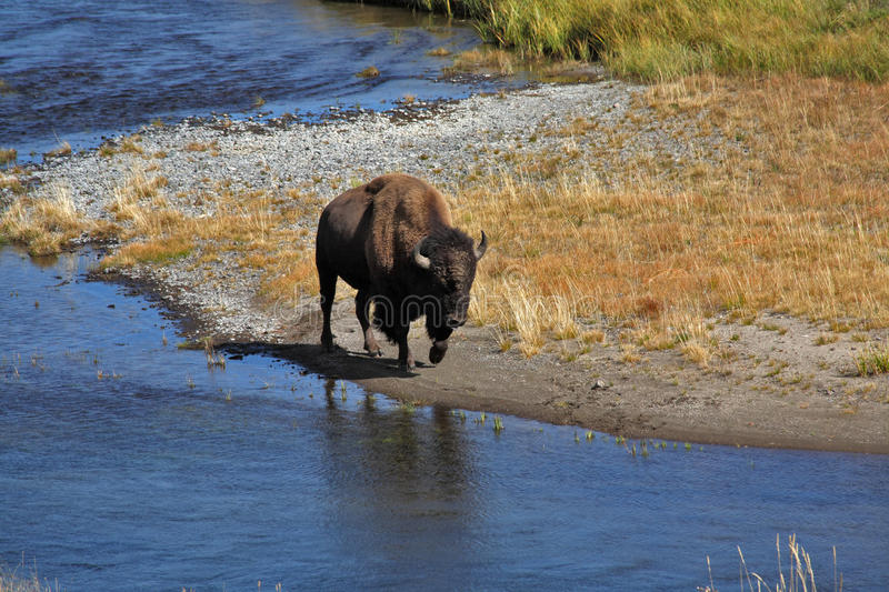 Bisons Go On A Watering Place Stock Photos