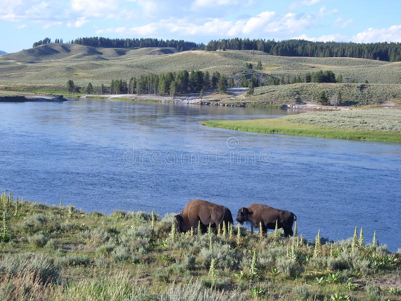 Bisons on the lakeside royalty free stock images