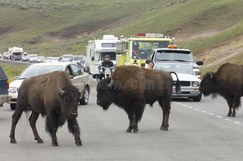 Download Bisons in Yellowstone editorial stock photo. Image of buffalo - 24883718