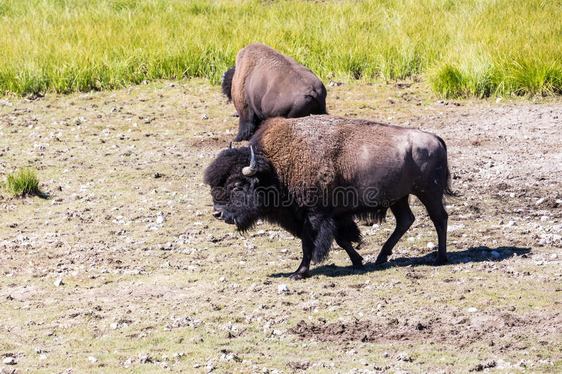 Bisons in Yellowstone National Park, Wyoming, USA stock photos