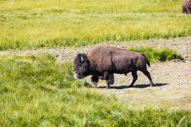 Bisons in Yellowstone National Park, Wyoming, USA royalty free stock image