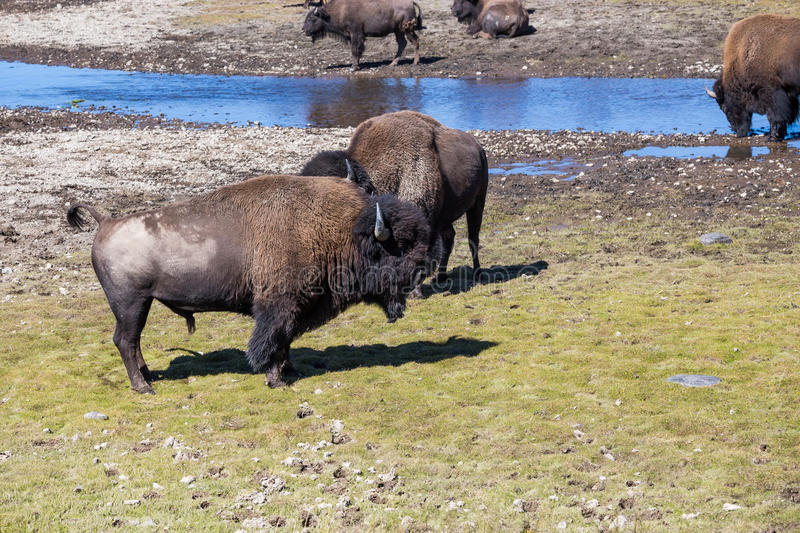 Bisons in Yellowstone National Park, Wyoming, USA royalty free stock photo