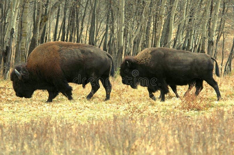 Bisonte in Alberta fotografia stock