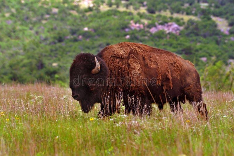 Bisonte americano fotos de stock