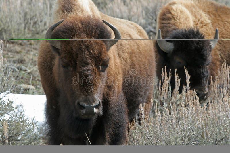 Bisonte americano immagine stock