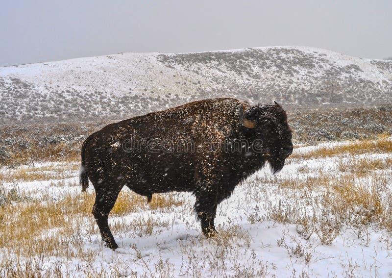 Download Bisonte americano foto de archivo. Imagen de parque, cubo - 42443454