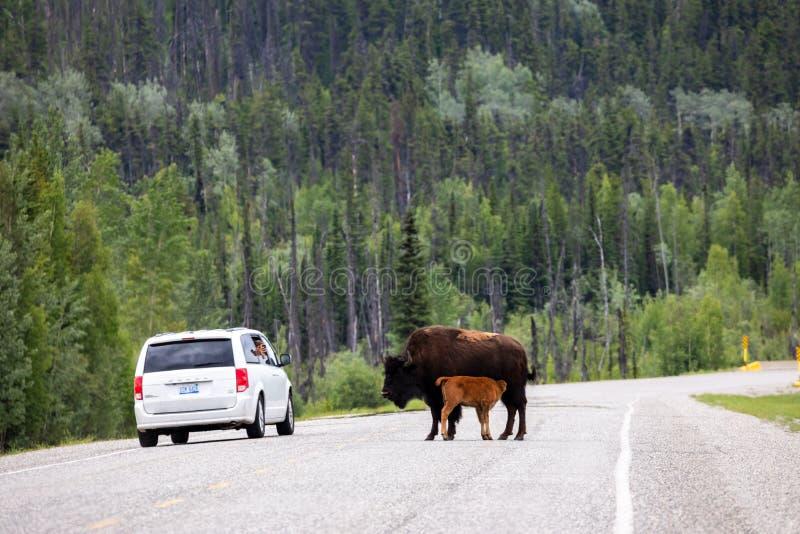 Bisonte americano ao longo da estrada de Alaska em Canadá foto de stock