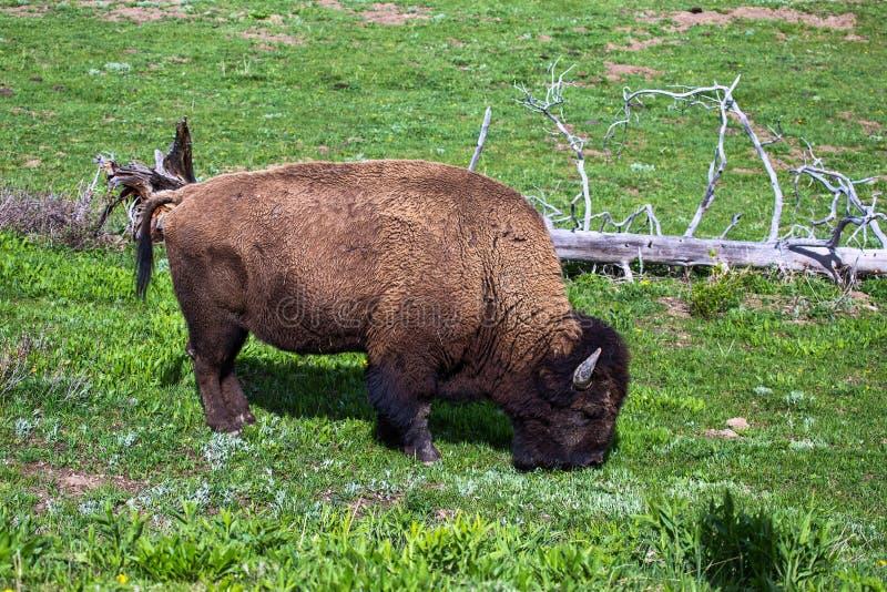 Bisonte americano, búfalo que pasta en el parque nacional de Yellowstone imagen de archivo