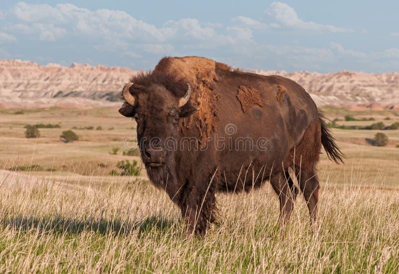 Bisonte americano Bull in calanchi del Dakota del Sud immagini stock libere da diritti