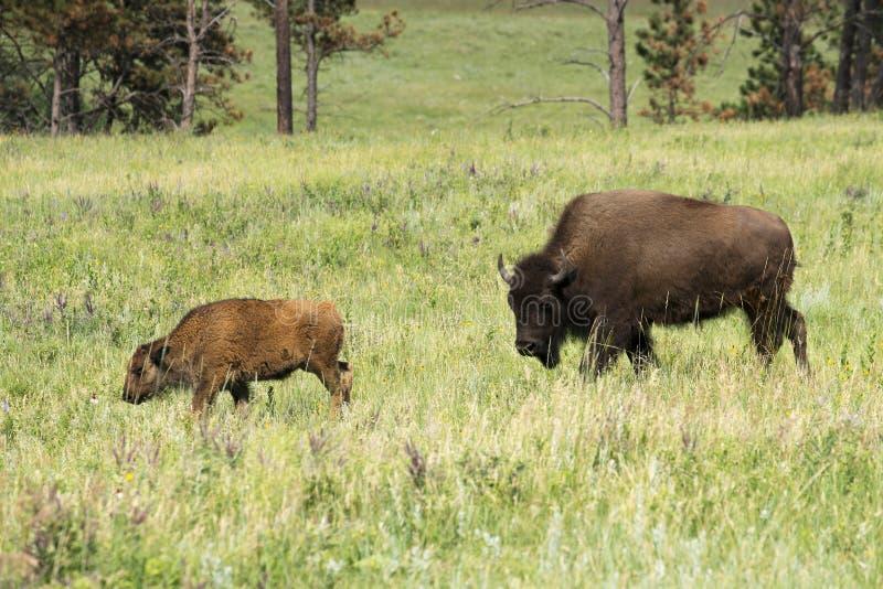 Bisonte, ` americano del búfalo del ` en Dakota del Sur foto de archivo