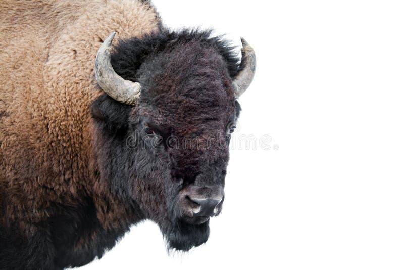 Bisonte americano isolado no branco imagem de stock royalty free