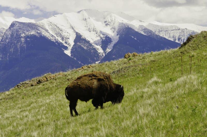 Bisonte americano, montagne di missione immagine stock libera da diritti