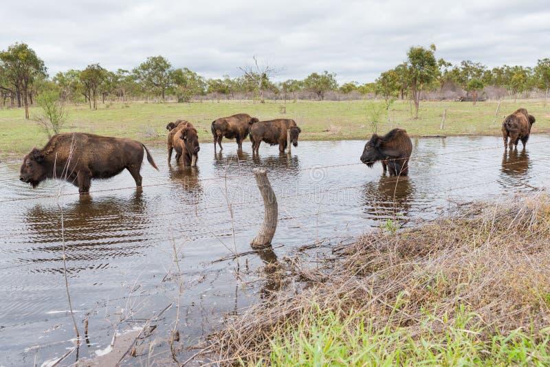 Bisonte americano nel campo che si raffredda in acqua immagini stock libere da diritti