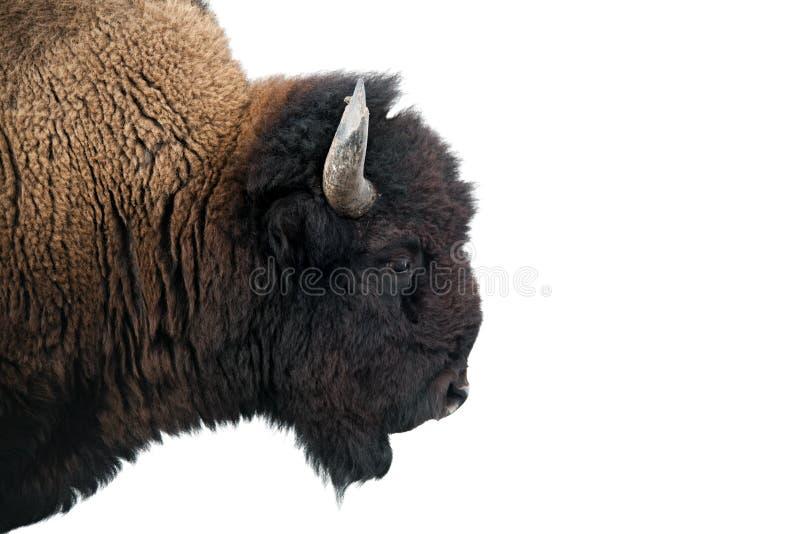 Bisonte americano nella sosta nazionale del Yellowstone immagine stock