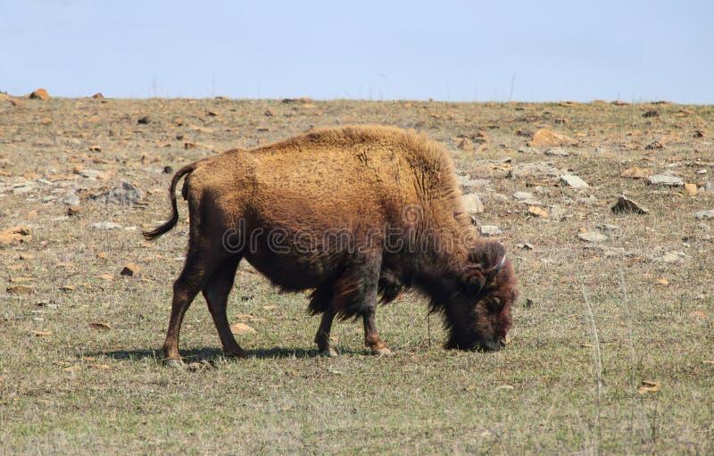 Bisonte americano que pasta no terreno rochoso com o vento que funde seu cabelo foto de stock royalty free