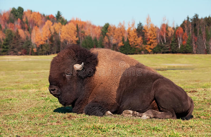 Bisonte anche conosciuto come una Buffalo americana fotografia stock