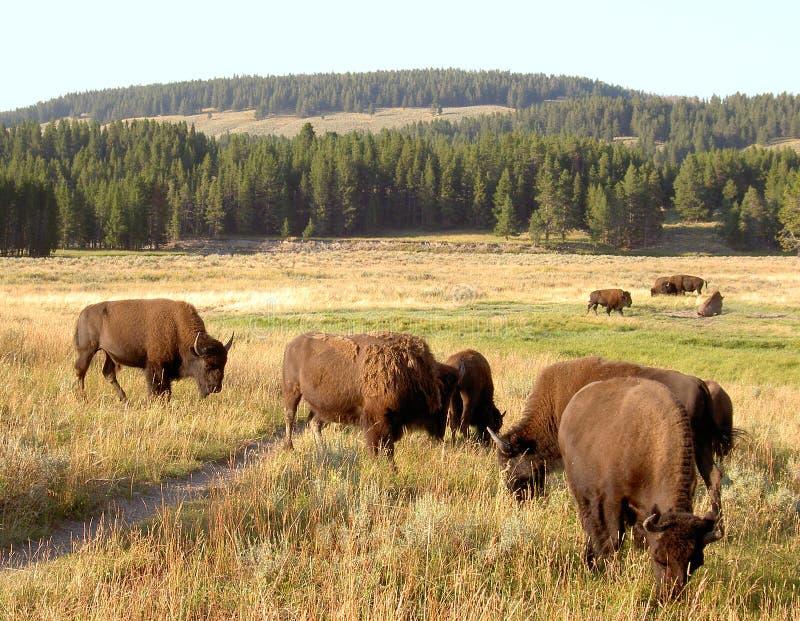 Bisonte (búfalo) em Yellowstone 2 fotografia de stock royalty free
