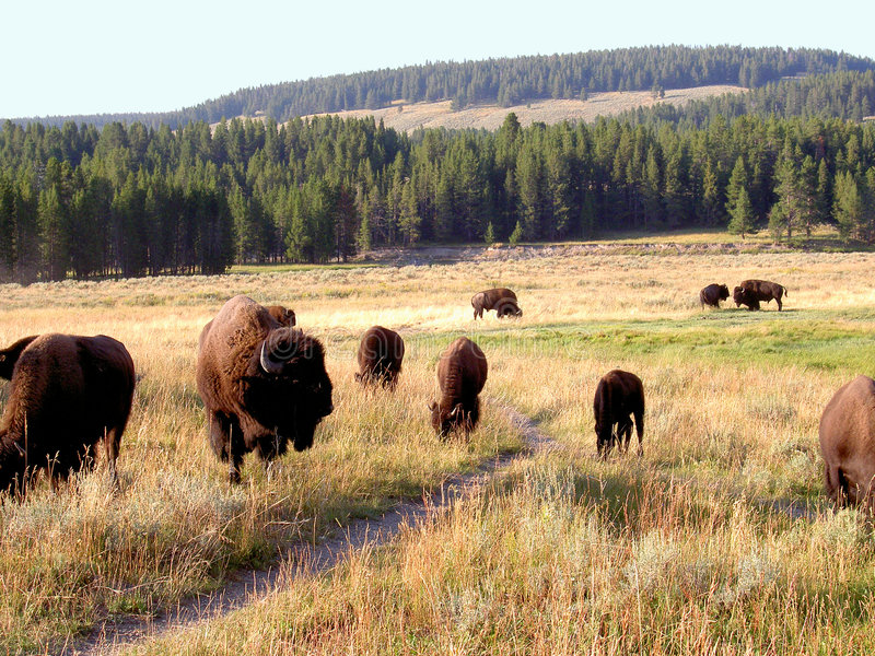 Bisonte (búfalo) en Yellowstone 1 imagenes de archivo
