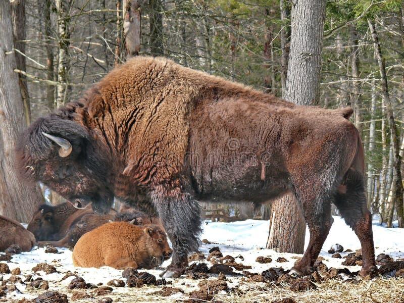 Bisonte canadese nell'inverno fotografia stock libera da diritti