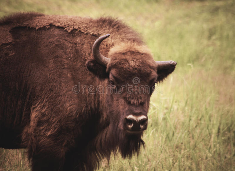 Bisonte com um chifre fotografia de stock royalty free