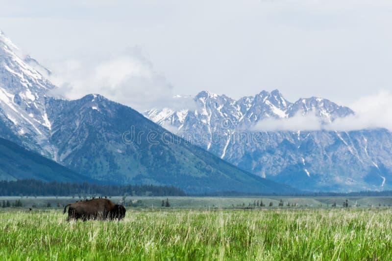 Bisonte con gli amici al grande parco nazionale del teton fotografie stock libere da diritti