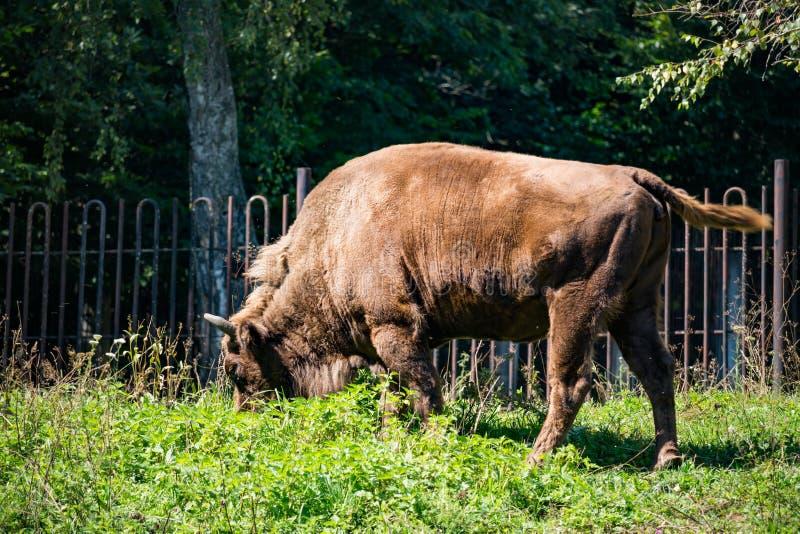 Bisonte de Brown que come la hierba verde fotos de archivo