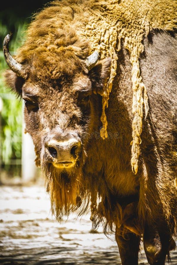 Bisonte de Bull, grande y poderoso, América imagen de archivo libre de regalías
