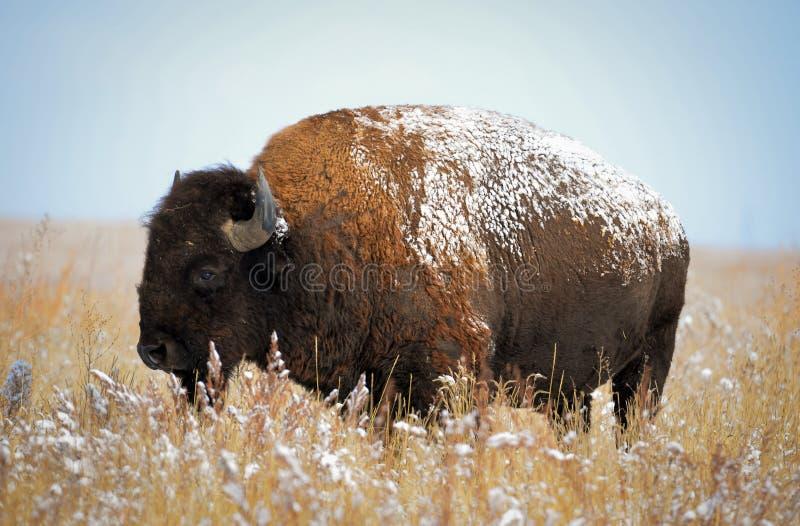 Bisonte de Colorado imagenes de archivo
