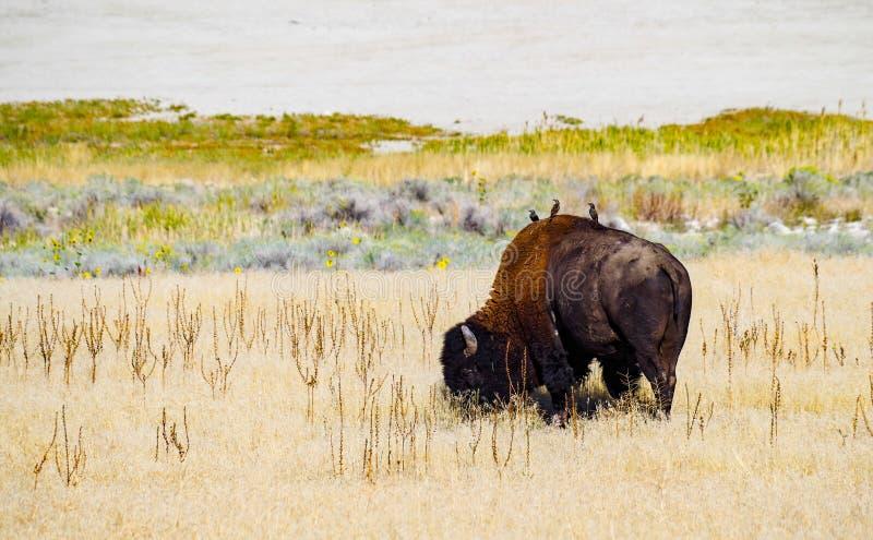 Bisonte de Salt Lake fotos de archivo libres de regalías