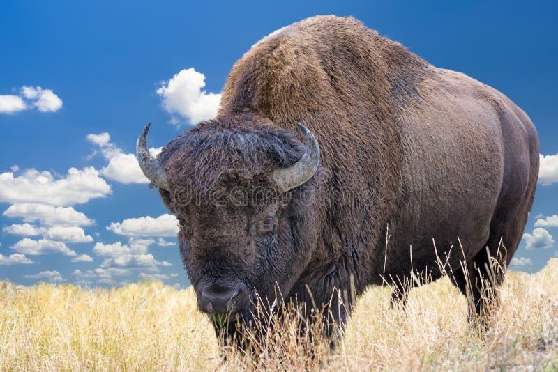Bisonte de Wyoming fotos de stock