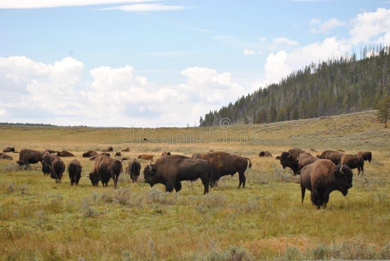 Bisonte de Yellowstone fotos de stock royalty free